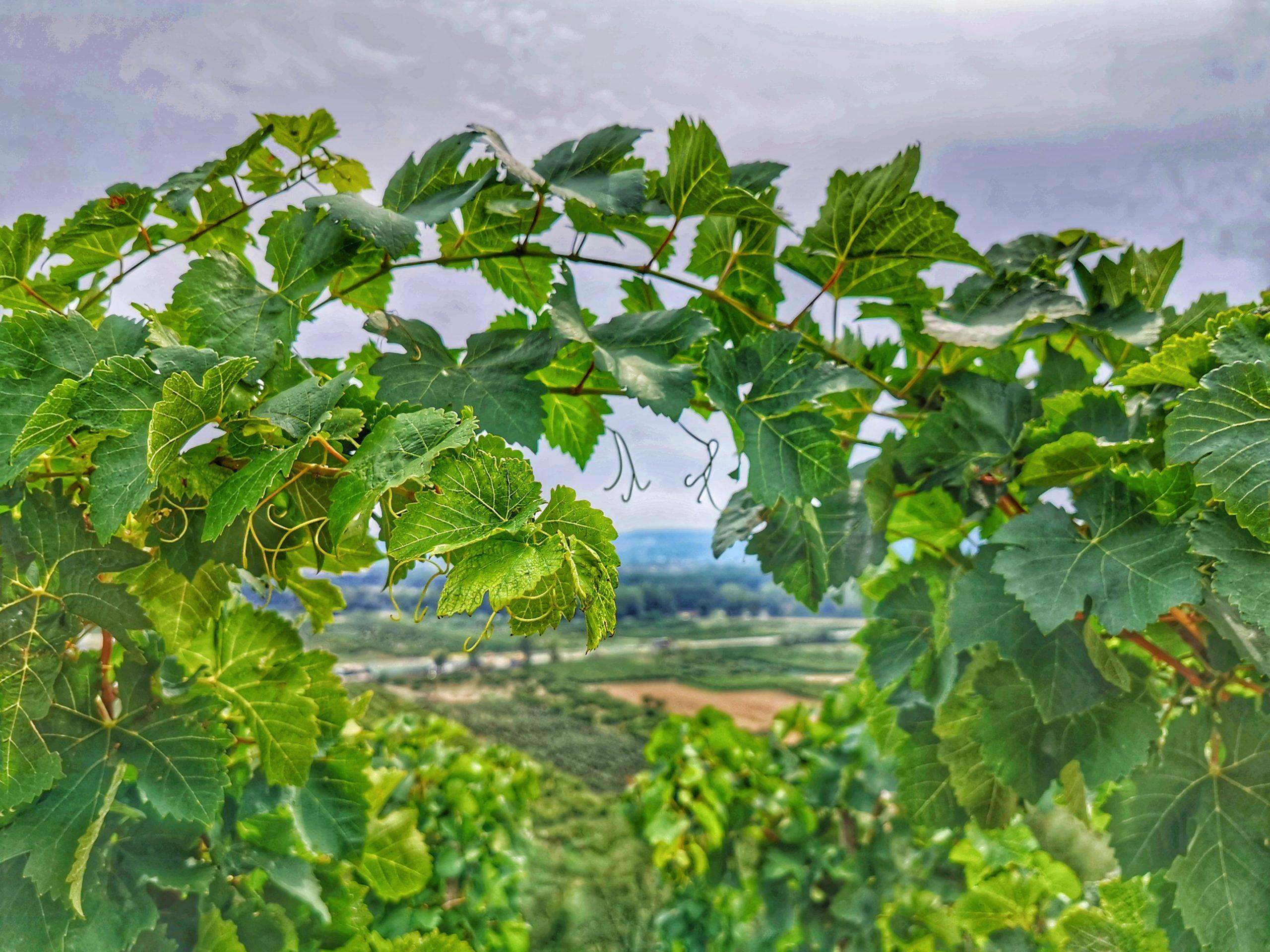 Le développement de la vigne au fil des saisons